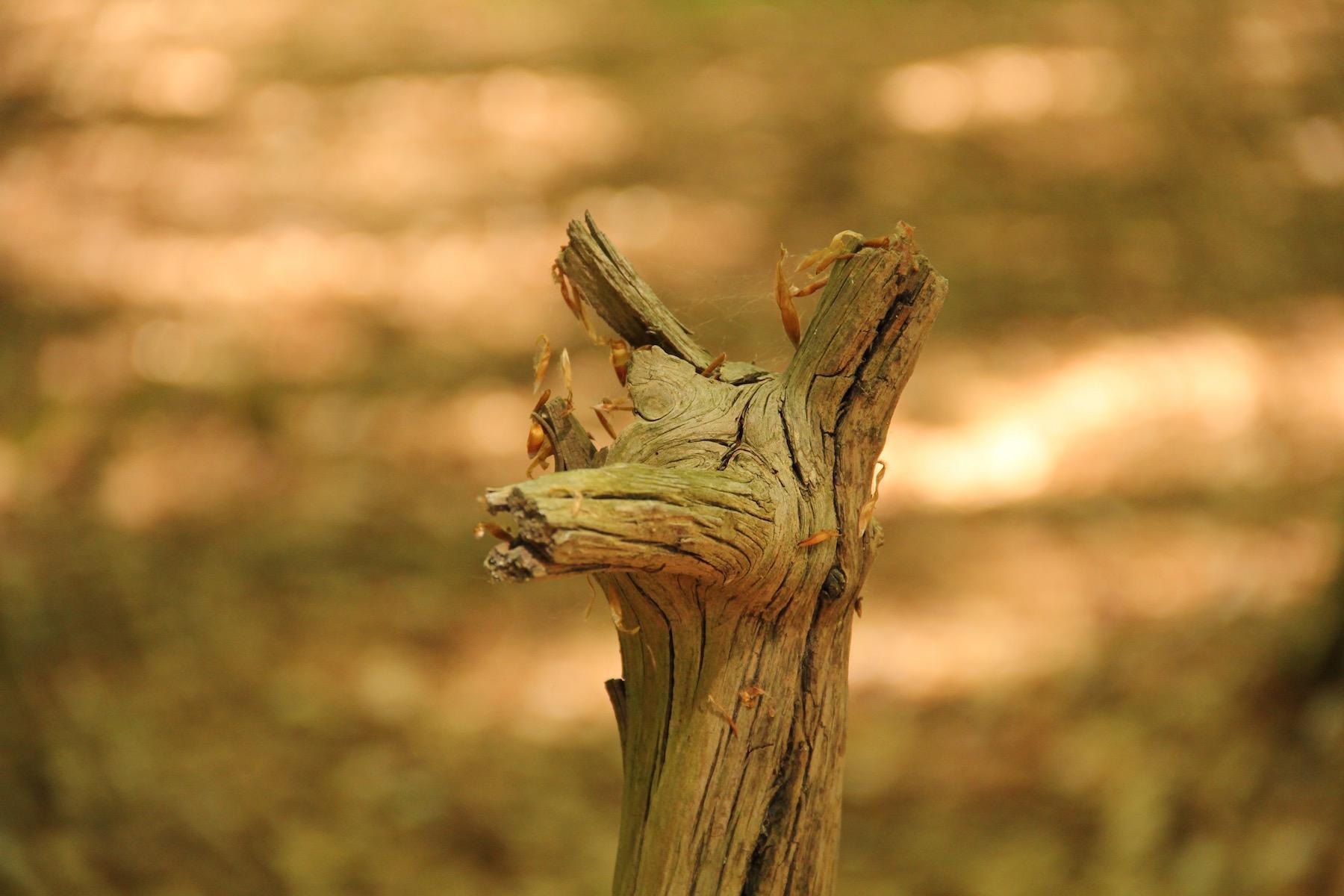 Baumstumpf, der an Hals und Kopf eines Fuchses erinnert