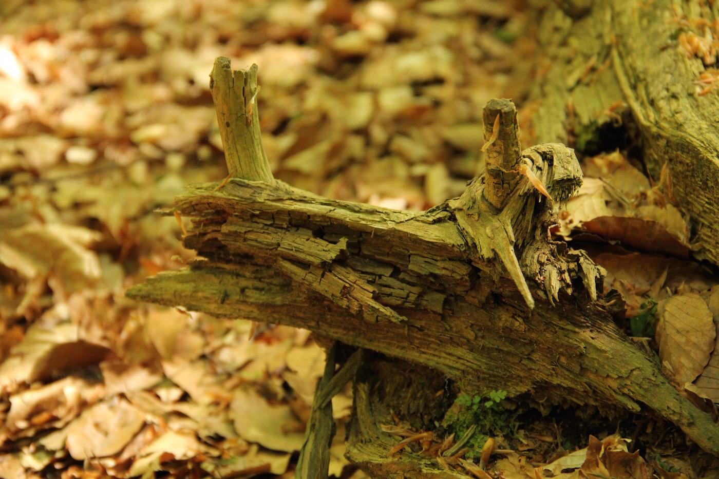 Totholz, das an einen stiläugigen Breitmaulfrosch erinnert