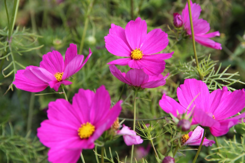 Pinkfarbene Cosmeen im Nolde-Garten
