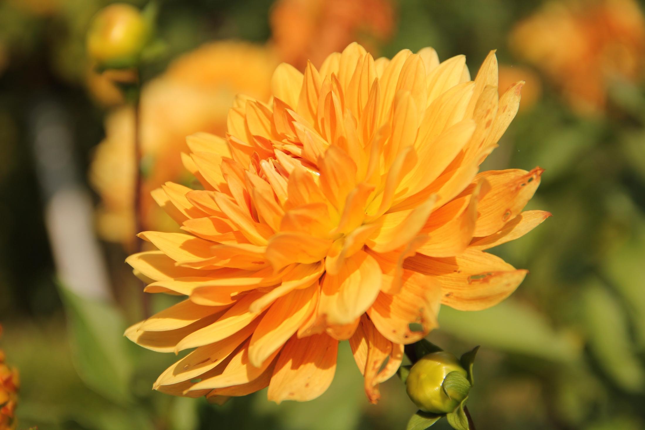 Orange blühende Dahlie