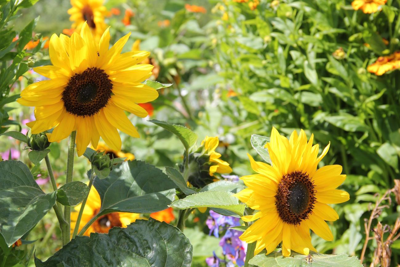 Sonnenblumen im Nolde-Garten