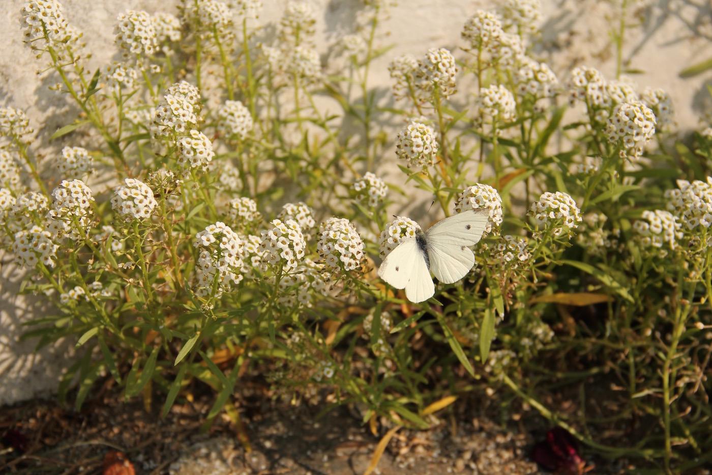 Steinkraut mit einem Schmetterling