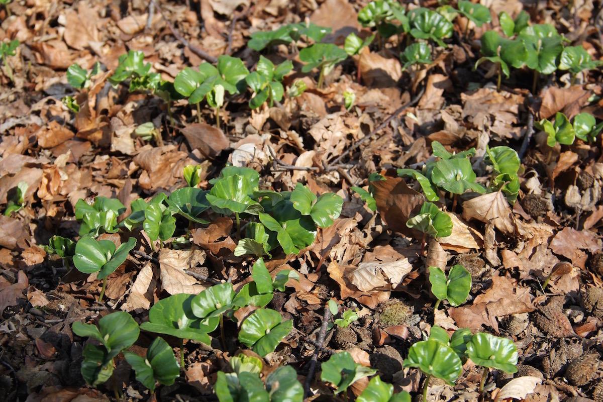 Buchenkeimlinge wachsen durch das alte Laub hindurch