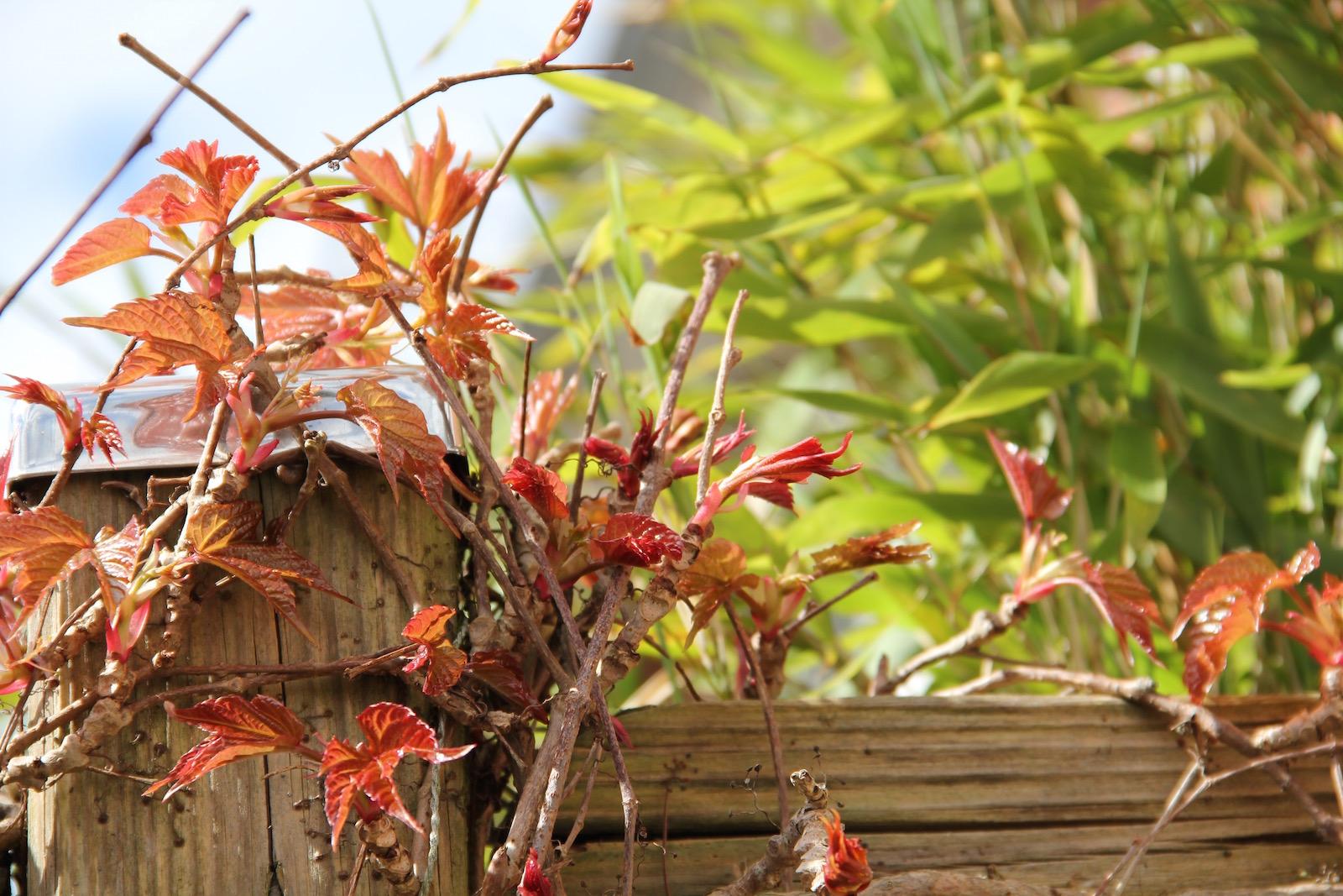 Wilder Wein klettert an einer hölzernen Trennwand empor, dahinter wächst Bambus.