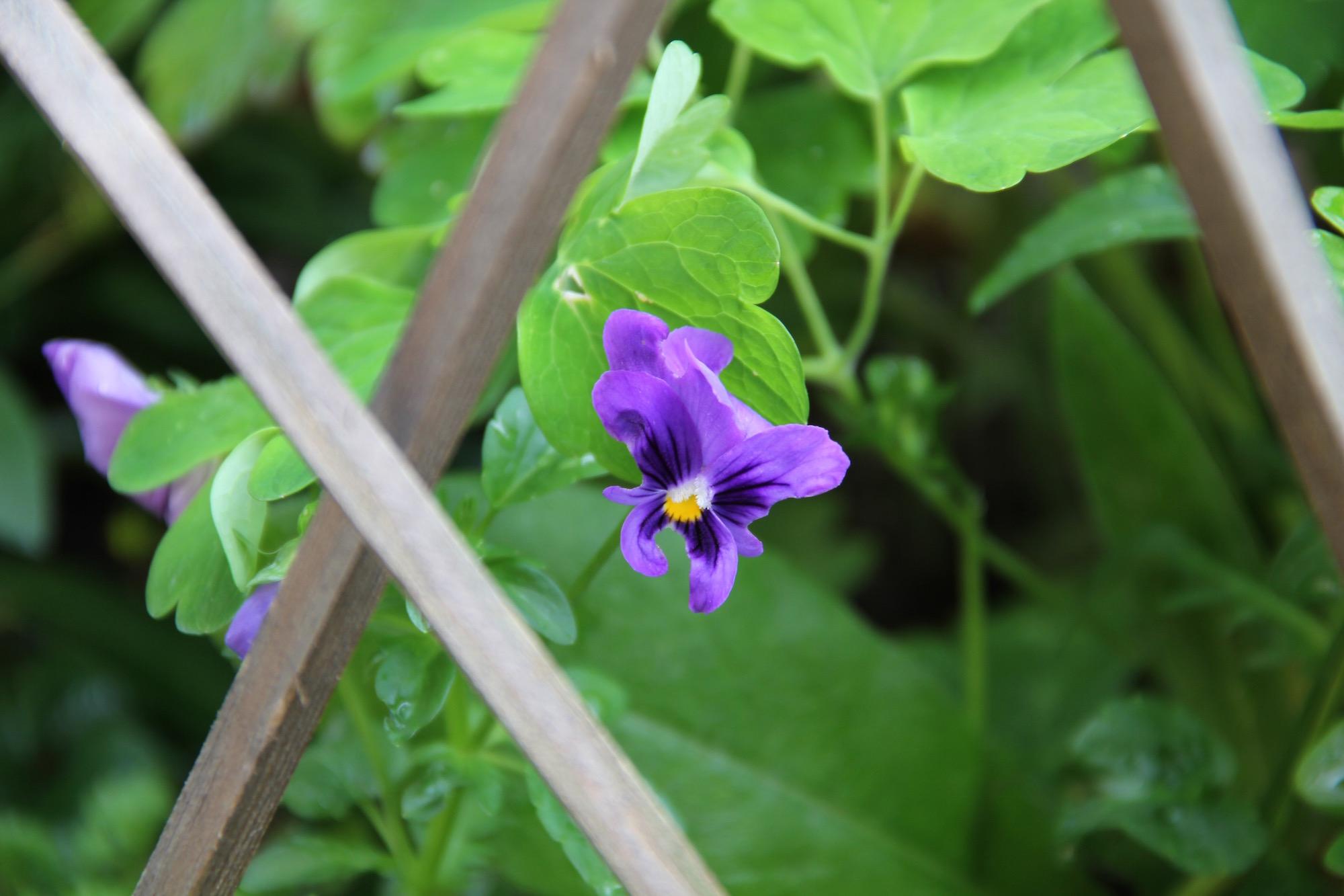 Blau-violette Blume vor einem Zaun aus Raketenstöckern