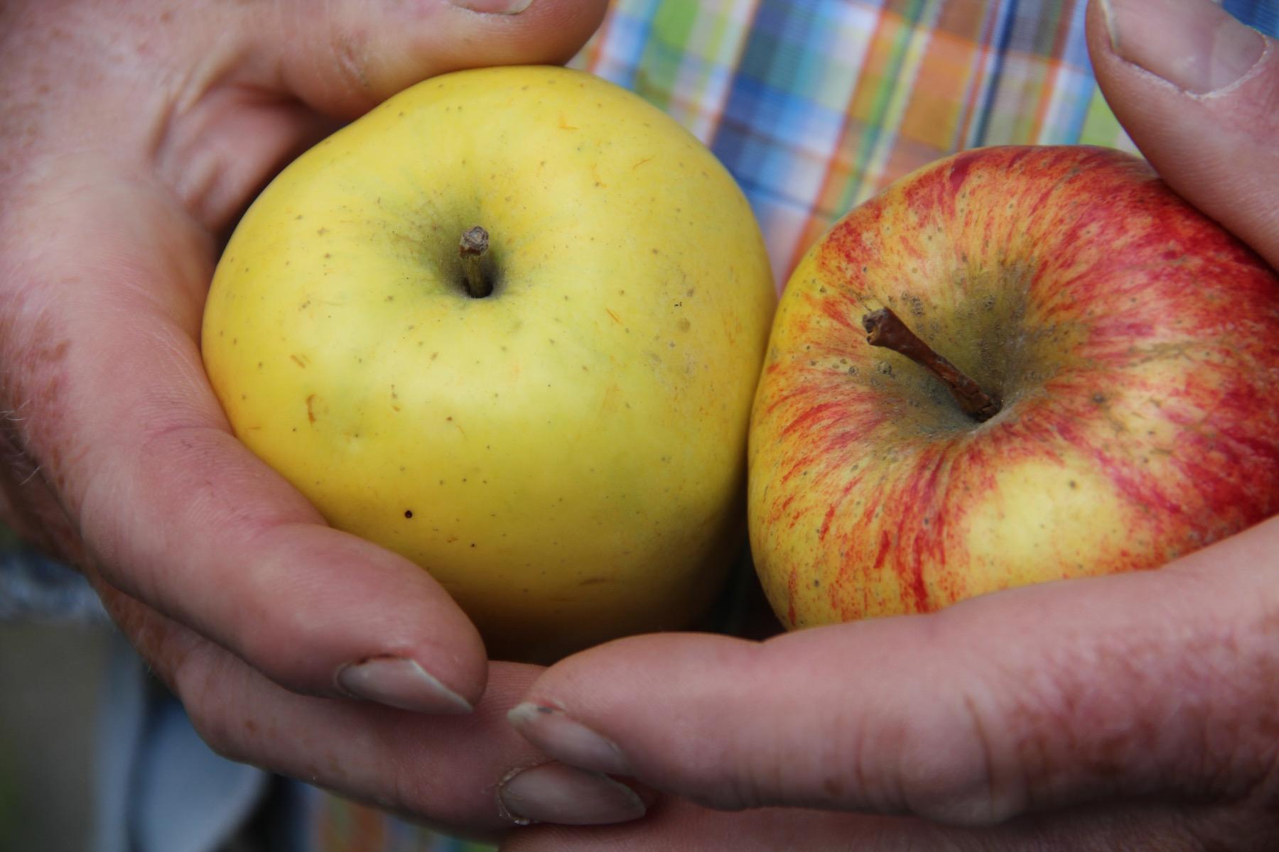 Eckart Brandt hält zwei Äpfel in den Händen.
