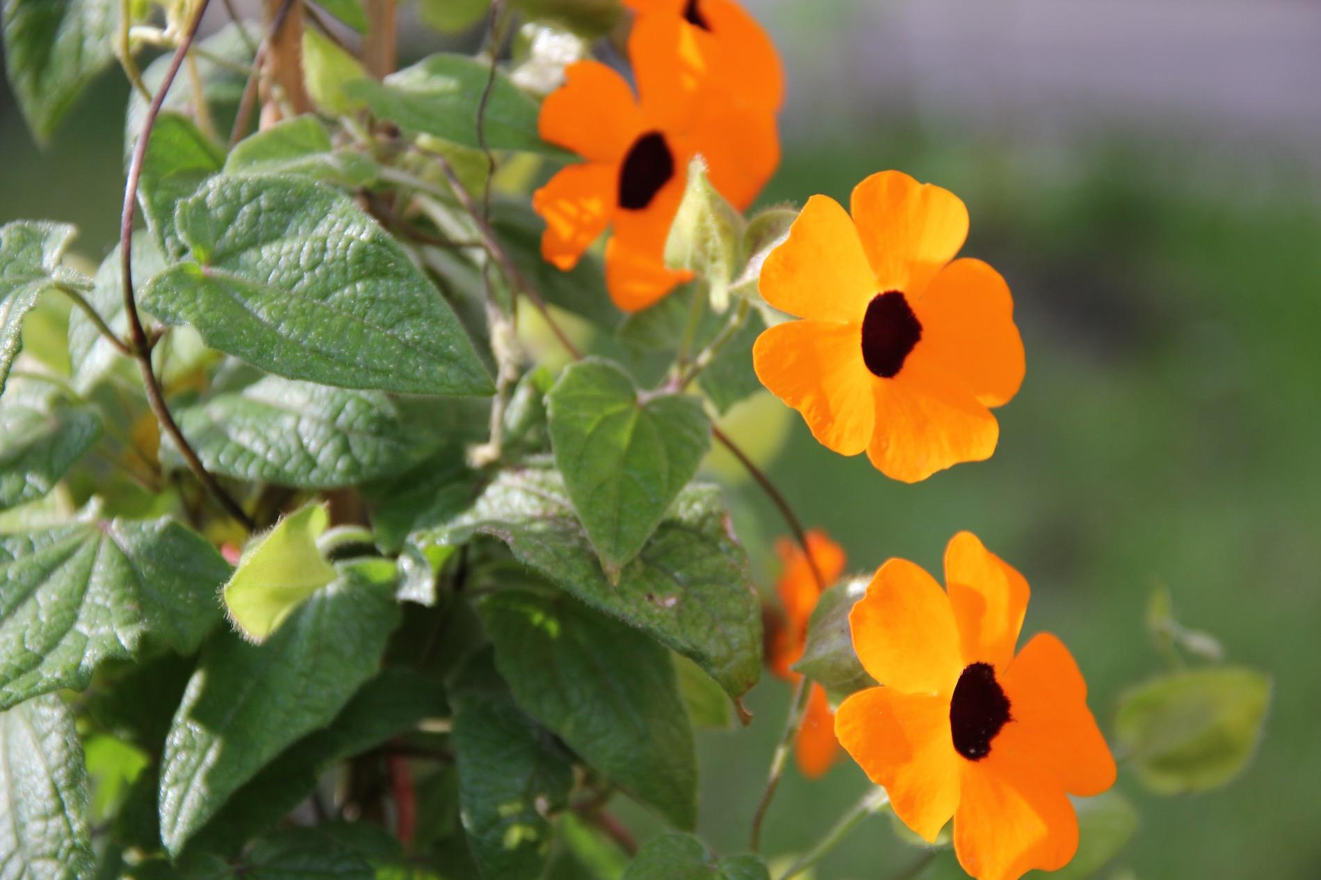 drei Blüten der Schwarzäugigen Susanne