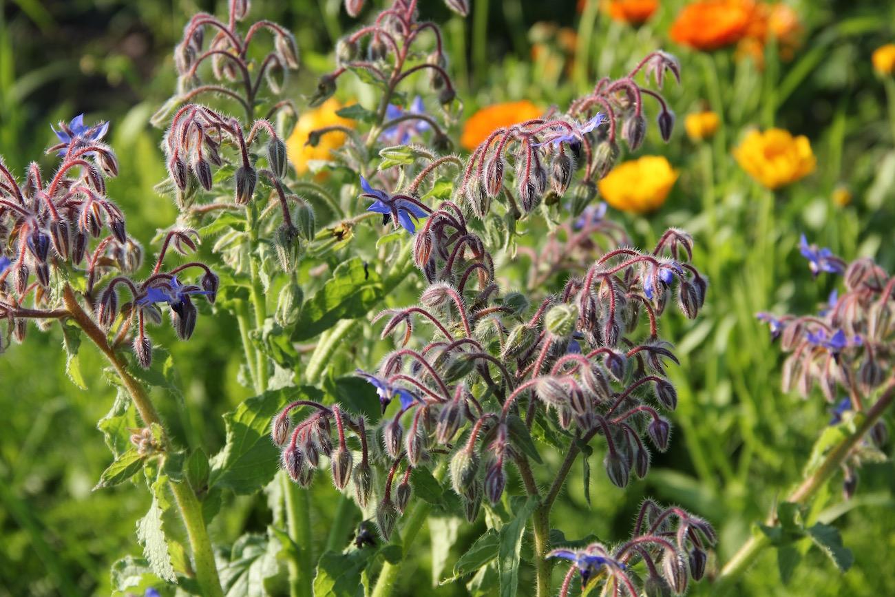 Blühender Borretsch, im Hintergrund Ringelblumen