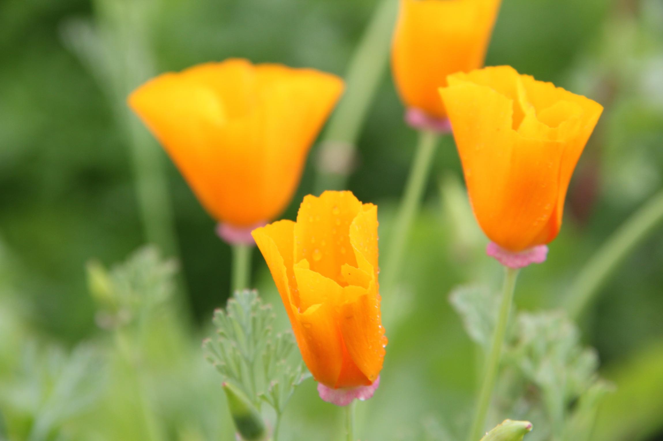 Blühender Kalifornischer Mohn