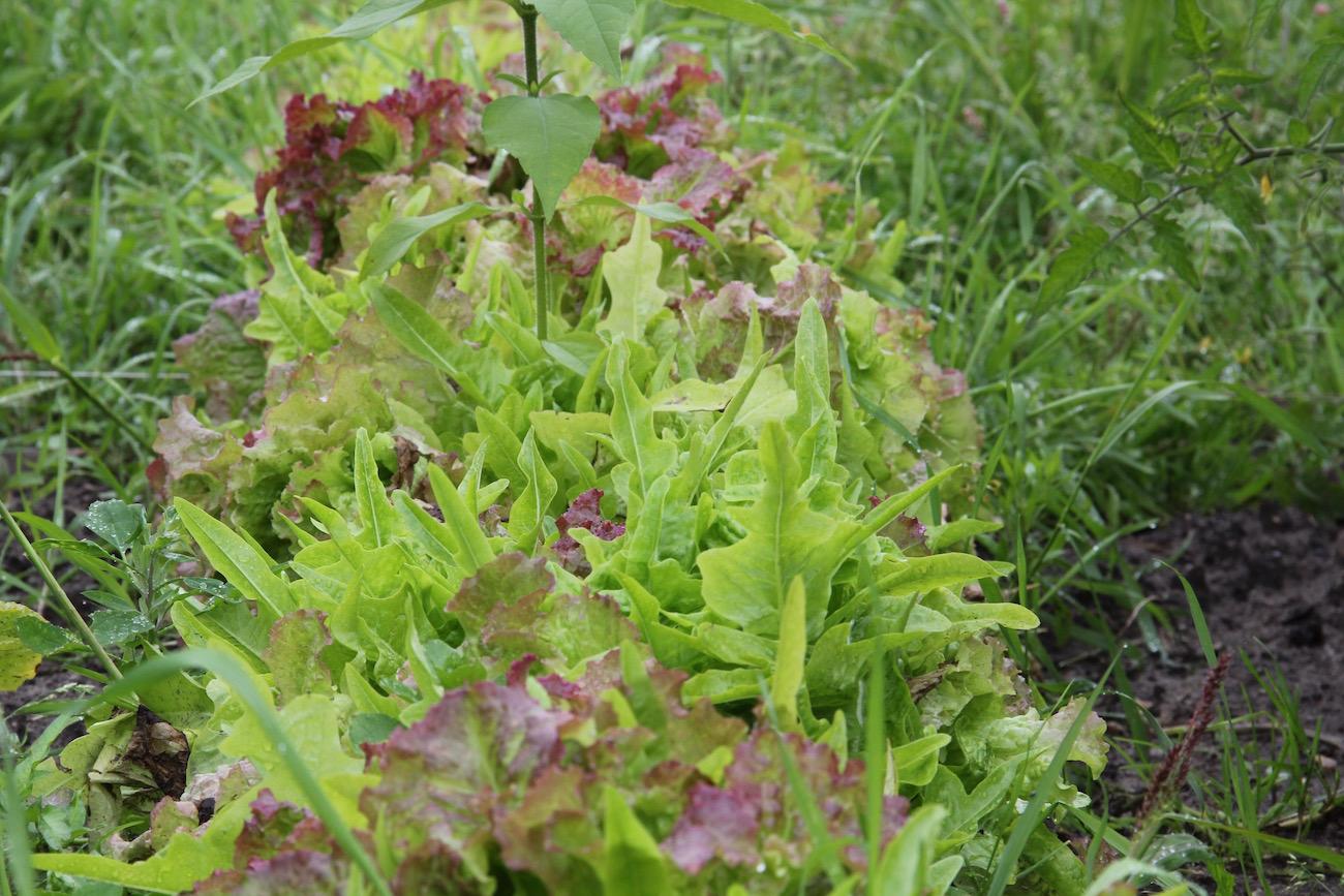 Verschiedene Salate wachsen in einer Reihe