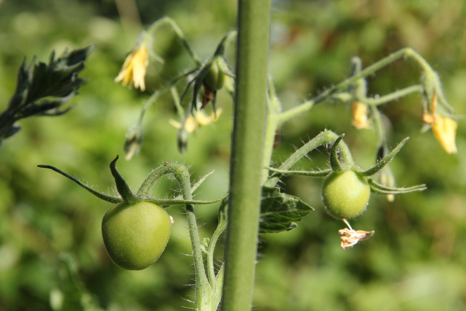 Grüne Minitomaten und Tomatenblüten an einer Tomatenpflanze