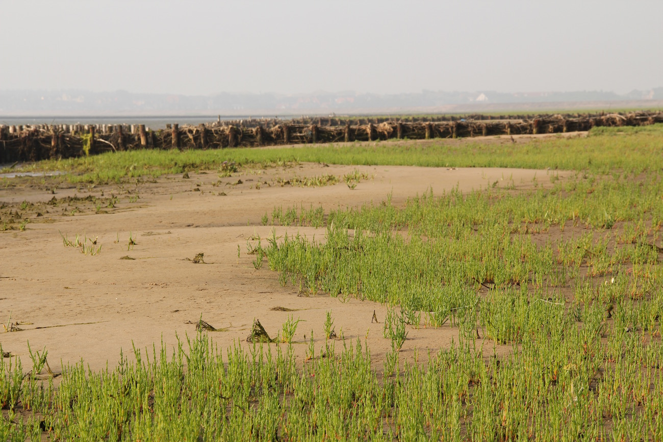 Queller in großen Mengen auf der Salzwiese