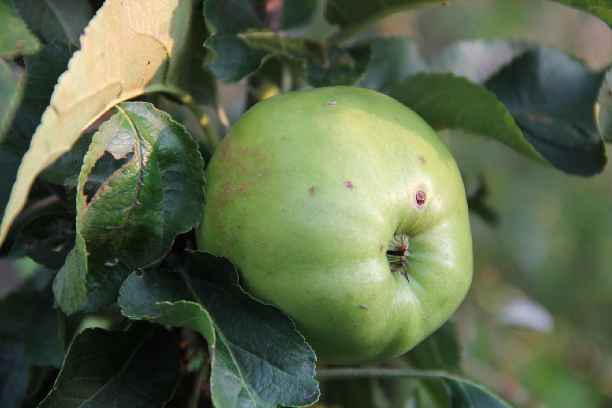 Grüner Apfel am Baum