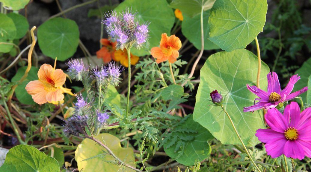 Kapuzinerkresse, Phacelia und Cosmea