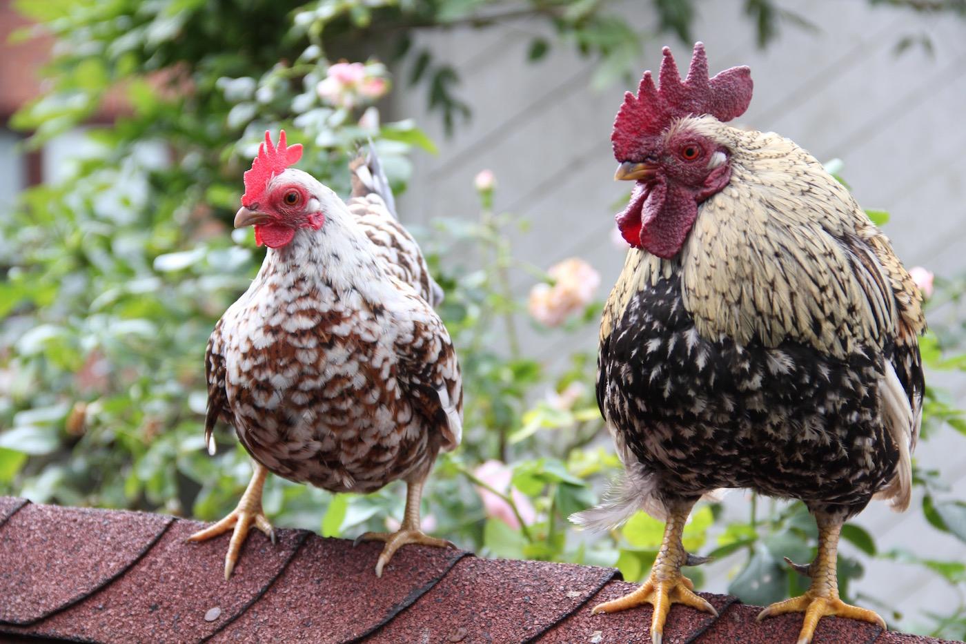 zwei Seramas auf dem Dach eines Hühnerhauses