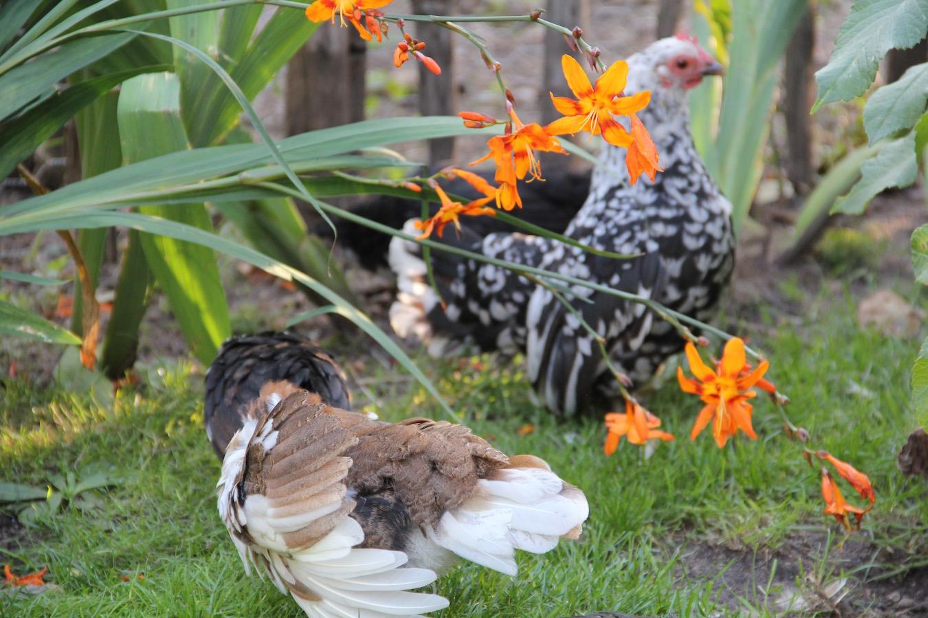 Hühner zwischen Blumen
