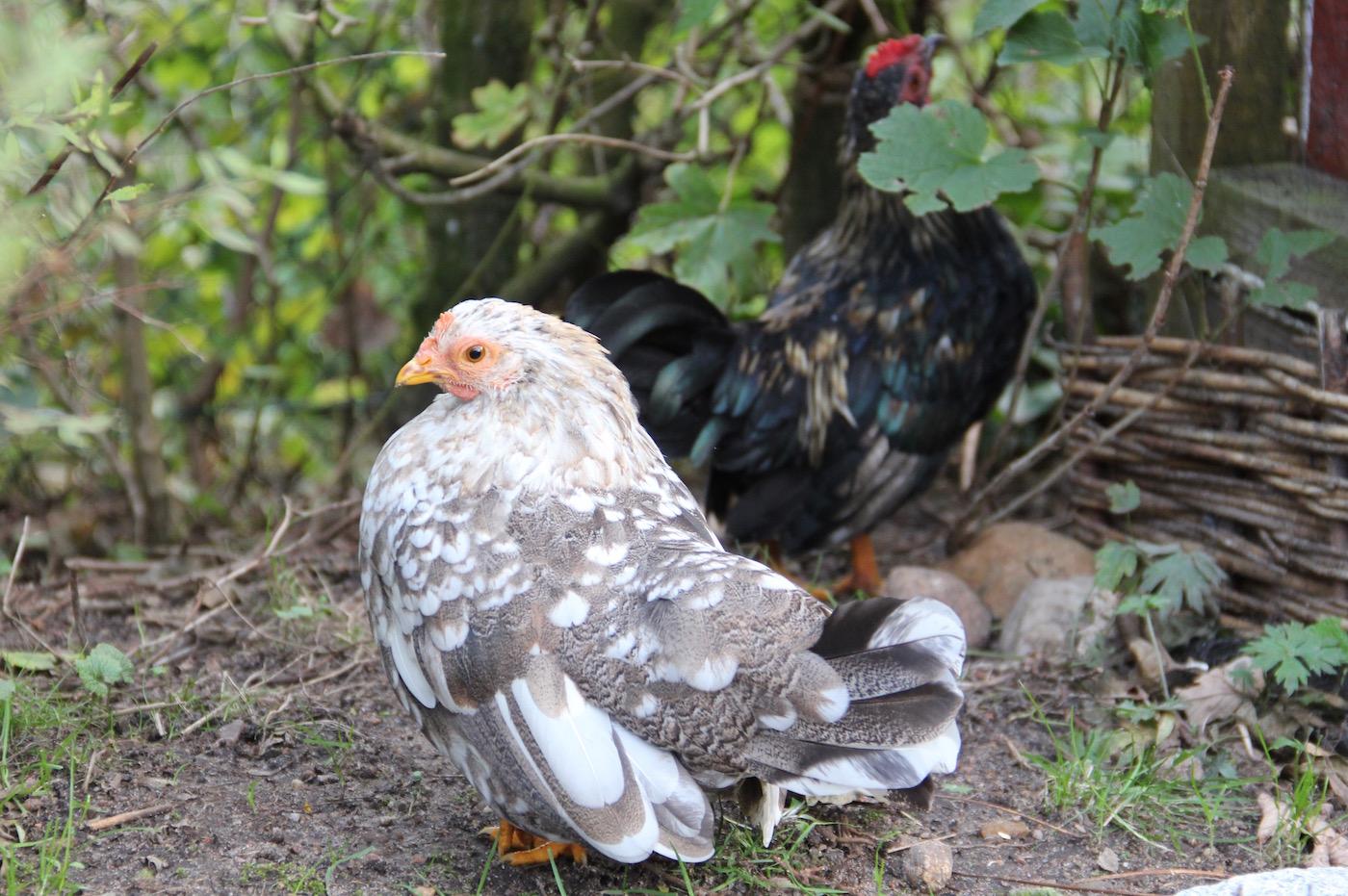 zwei Serama-Hühner