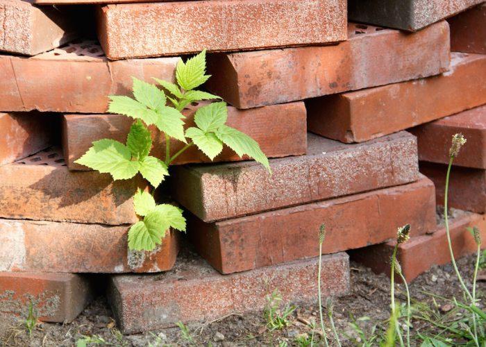 Ein Himbeerstrauch wächst durch die Backsteinmauer.