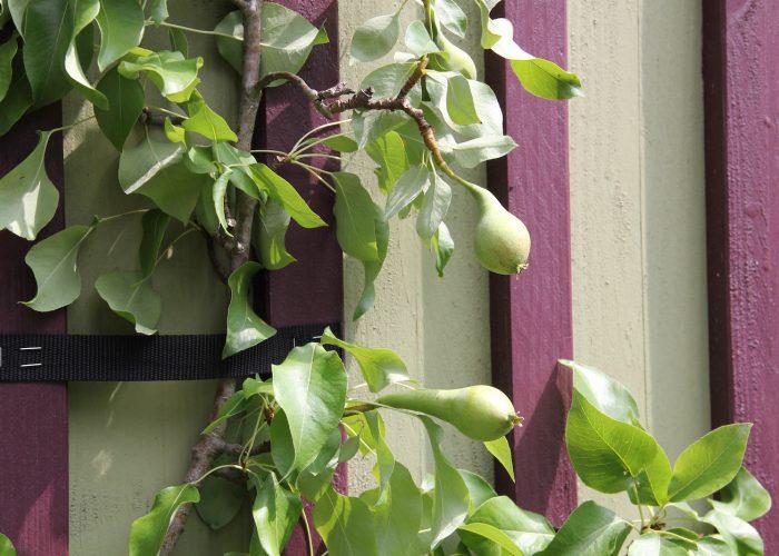 Birnenbaum vor einer gestreiften Wand
