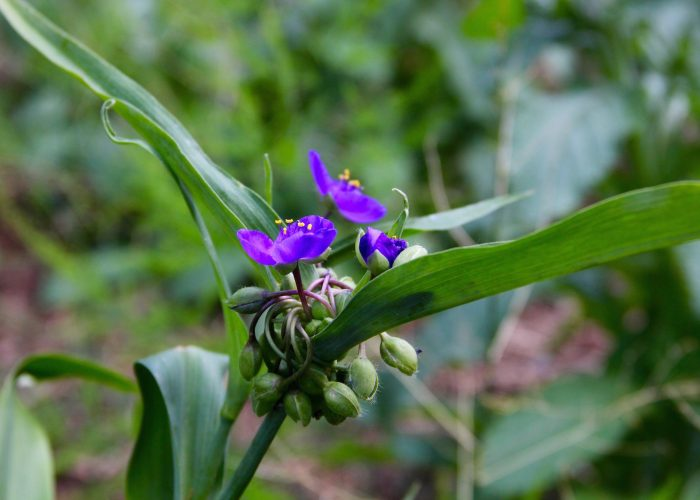 lilafarbene Dreimasterblume