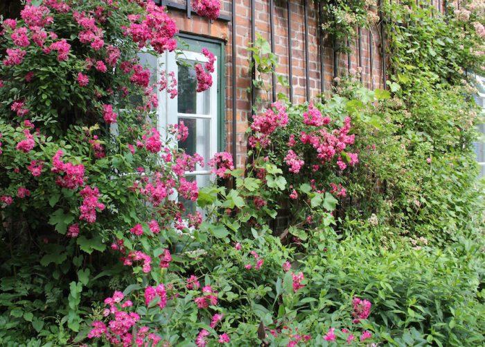 rosenbedeckte Hauswand