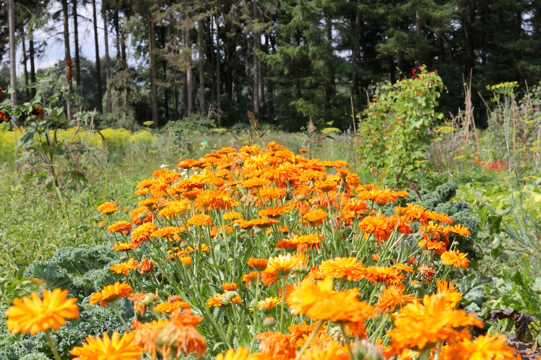 Ringelblumenreihe inmitten von Gemüse