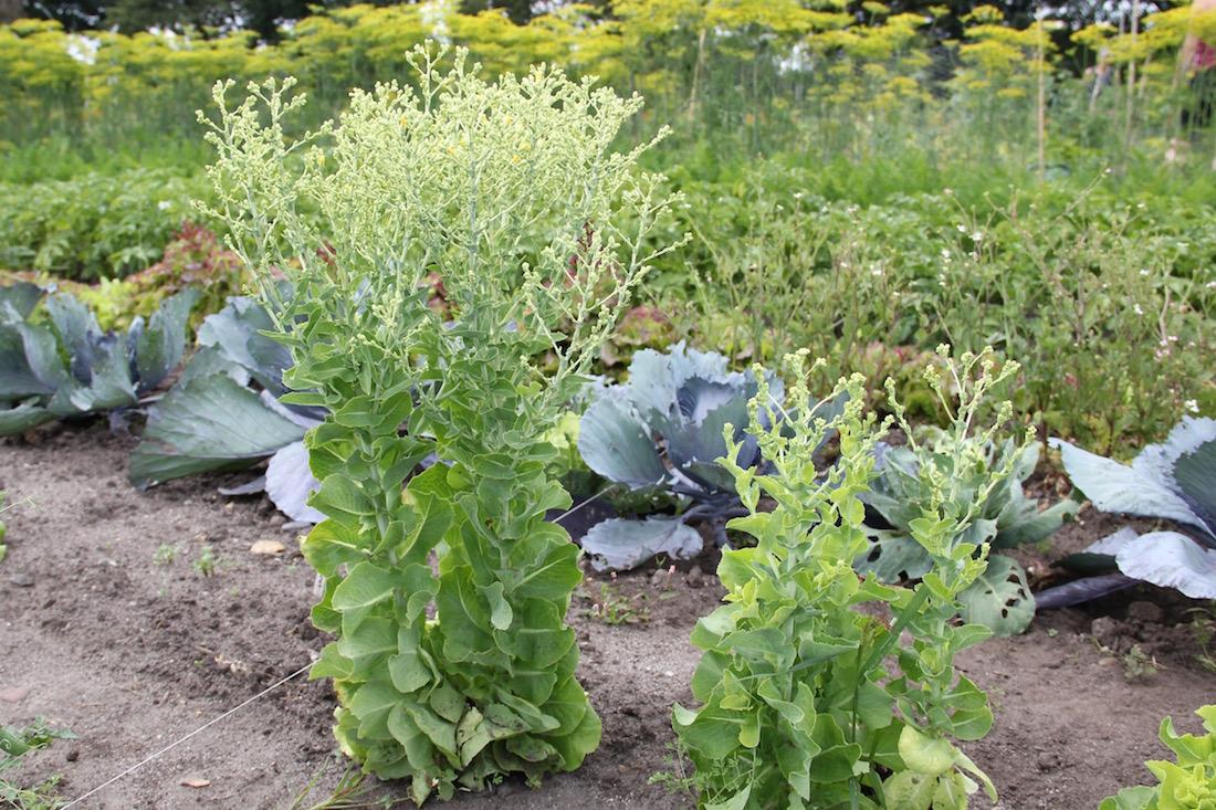 geschossener Salat mit Blütenansätzen