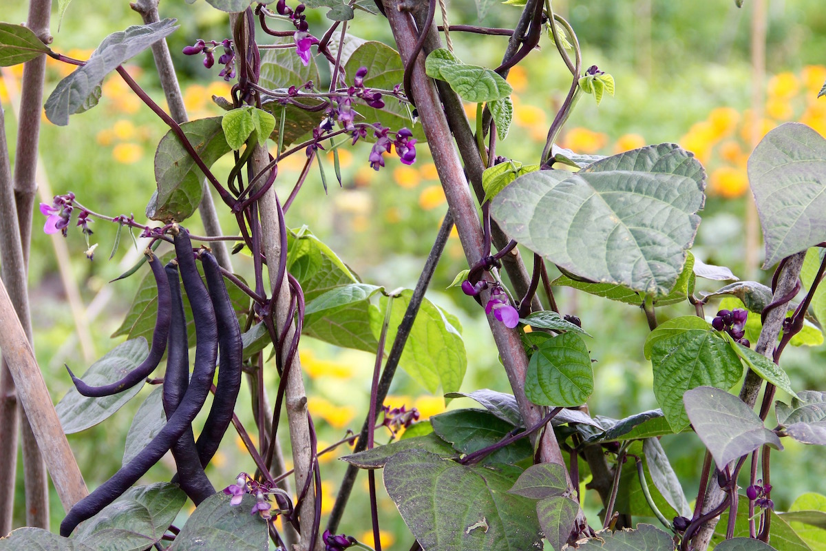 Stangenbohne Blauhilde mit Blüten und Bohnen