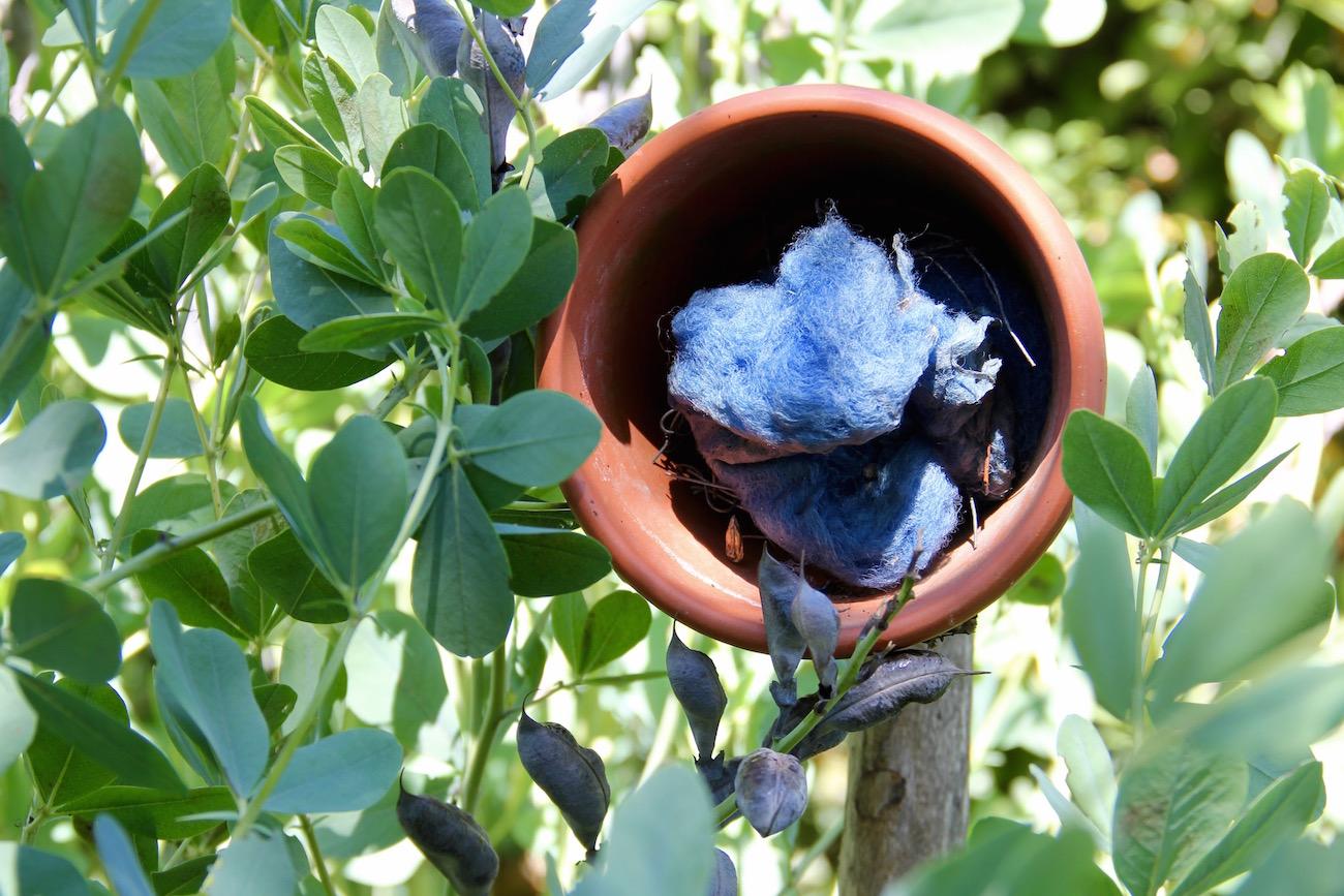 Terracottatopf mit blauer Wolle im Färberhülsenstrauch