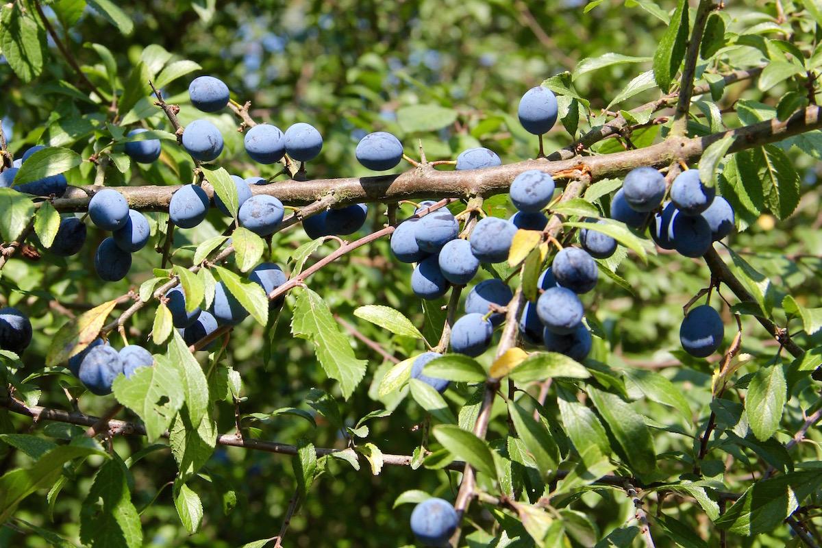 Zweig eines Schlehdorns mit vielen Früchten dran