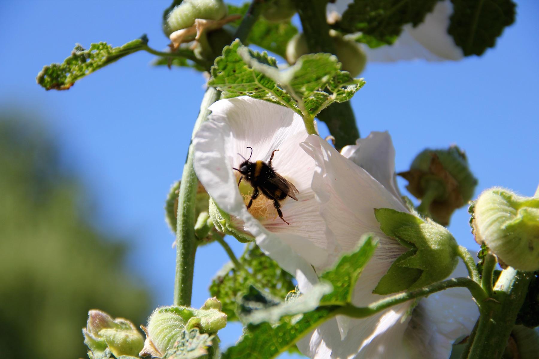 Hummel in weißer Stockrosenblüte