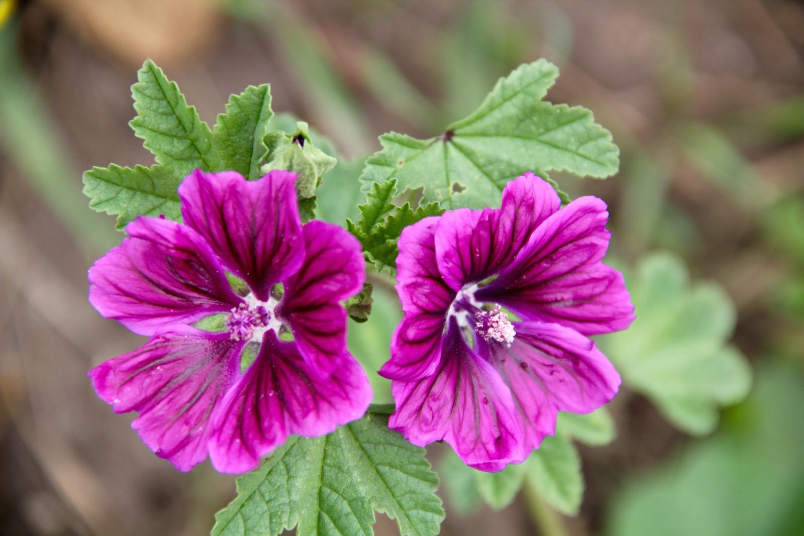 zwei lilafarbene Malvenblüten
