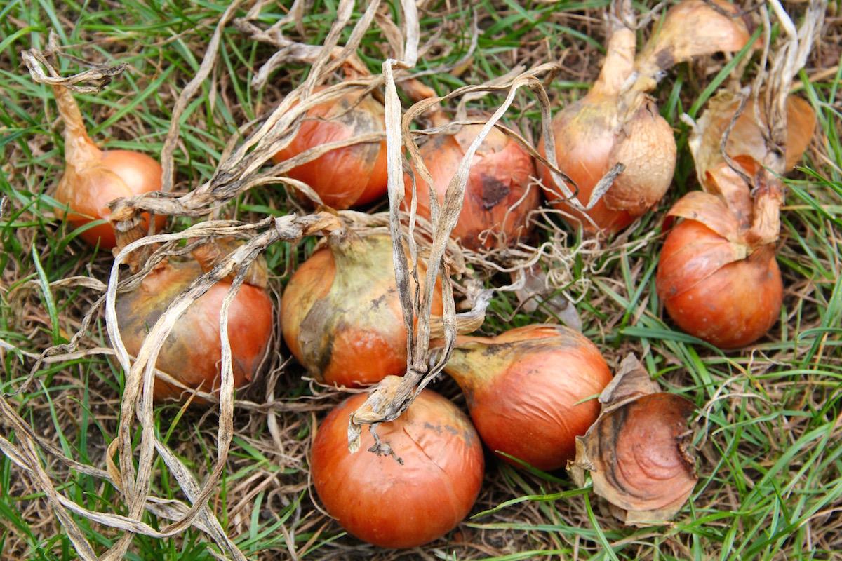 Zwiebeln mit vertrocknetem Laub nach der Ernte im Gras
