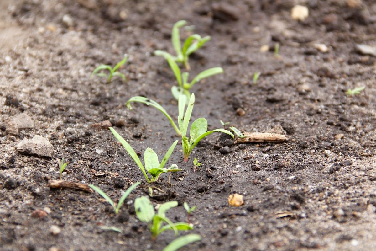 junge Spinatpflanzen in Reihe im Beet