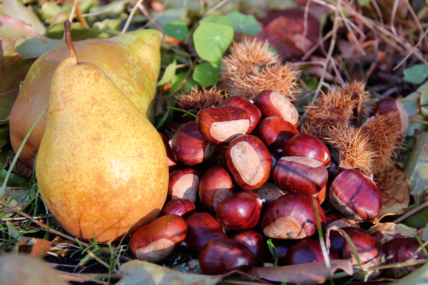 Maronen und Birnen im Garten