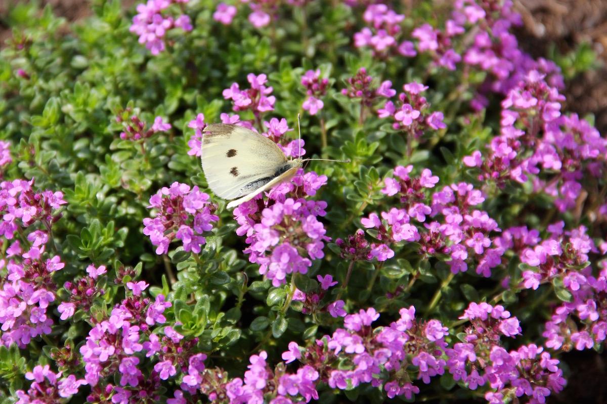 blühender Thymian mit Schmetterling
