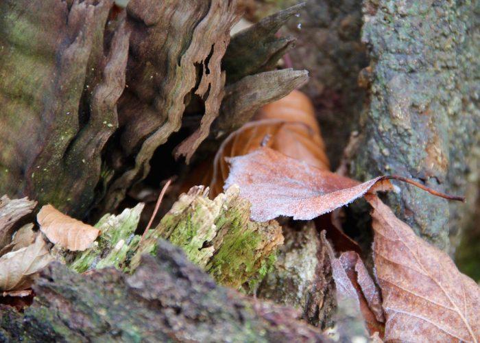 reifbedecktes Buchenblatt an Totholz