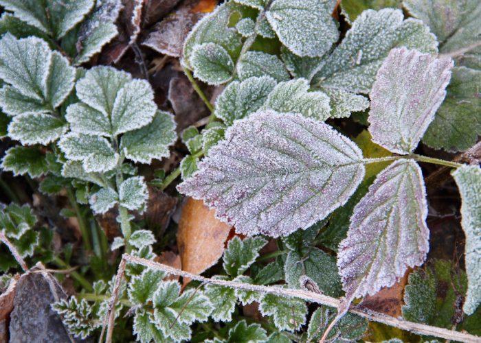 reifbedeckte Blätter