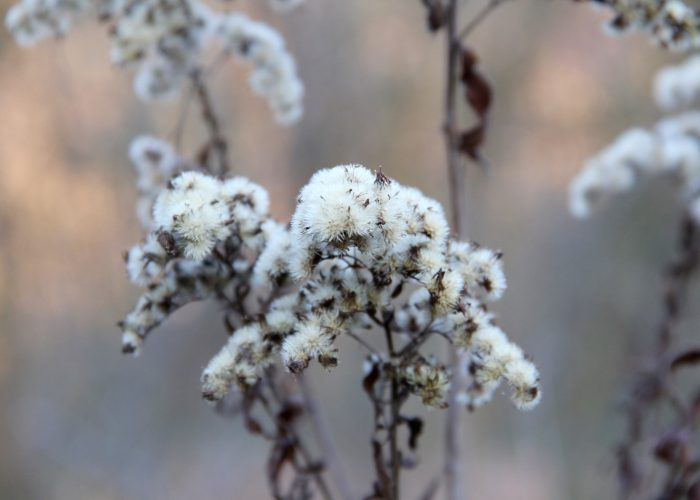 vertrocknete Goldrutenblüte