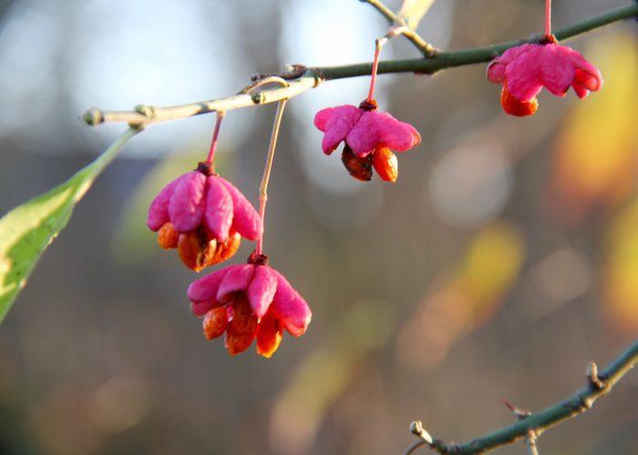 Pfaffenhütchenblüten am Ast