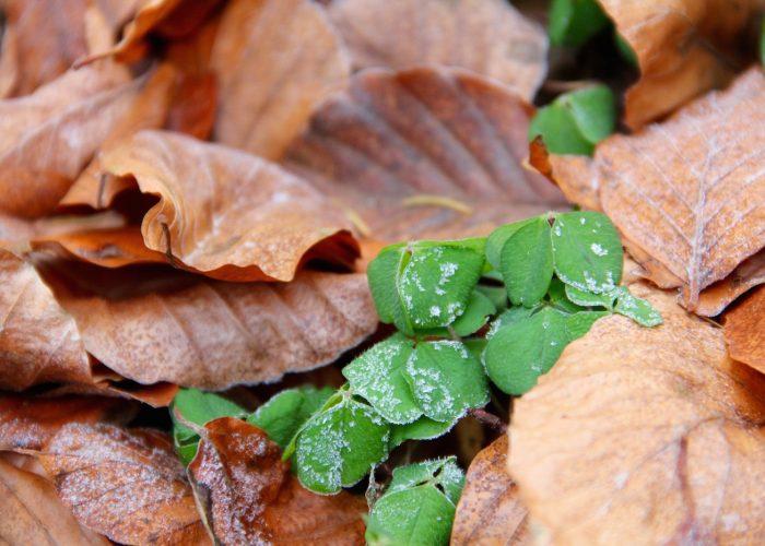 grüner Sauerklee mit Reif zwischen braunem Buchenlaub