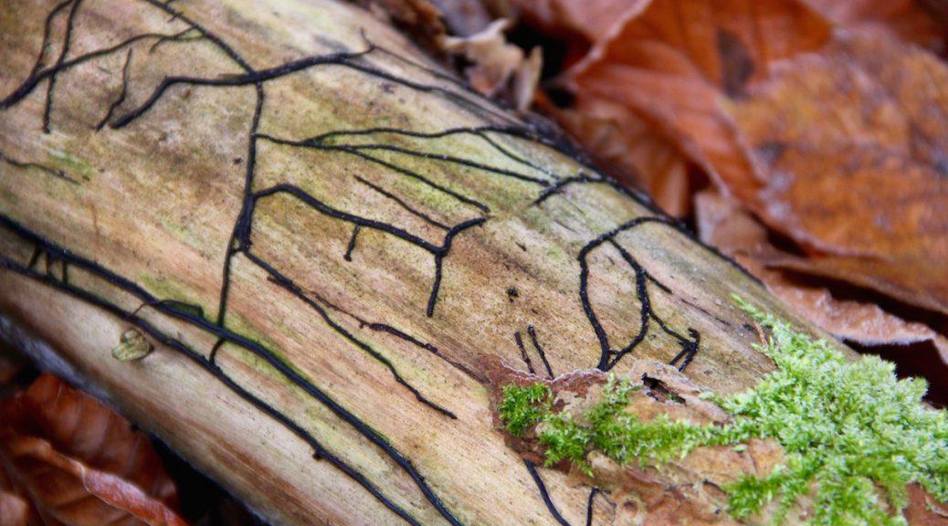 Schädlingssfraß am Totholz