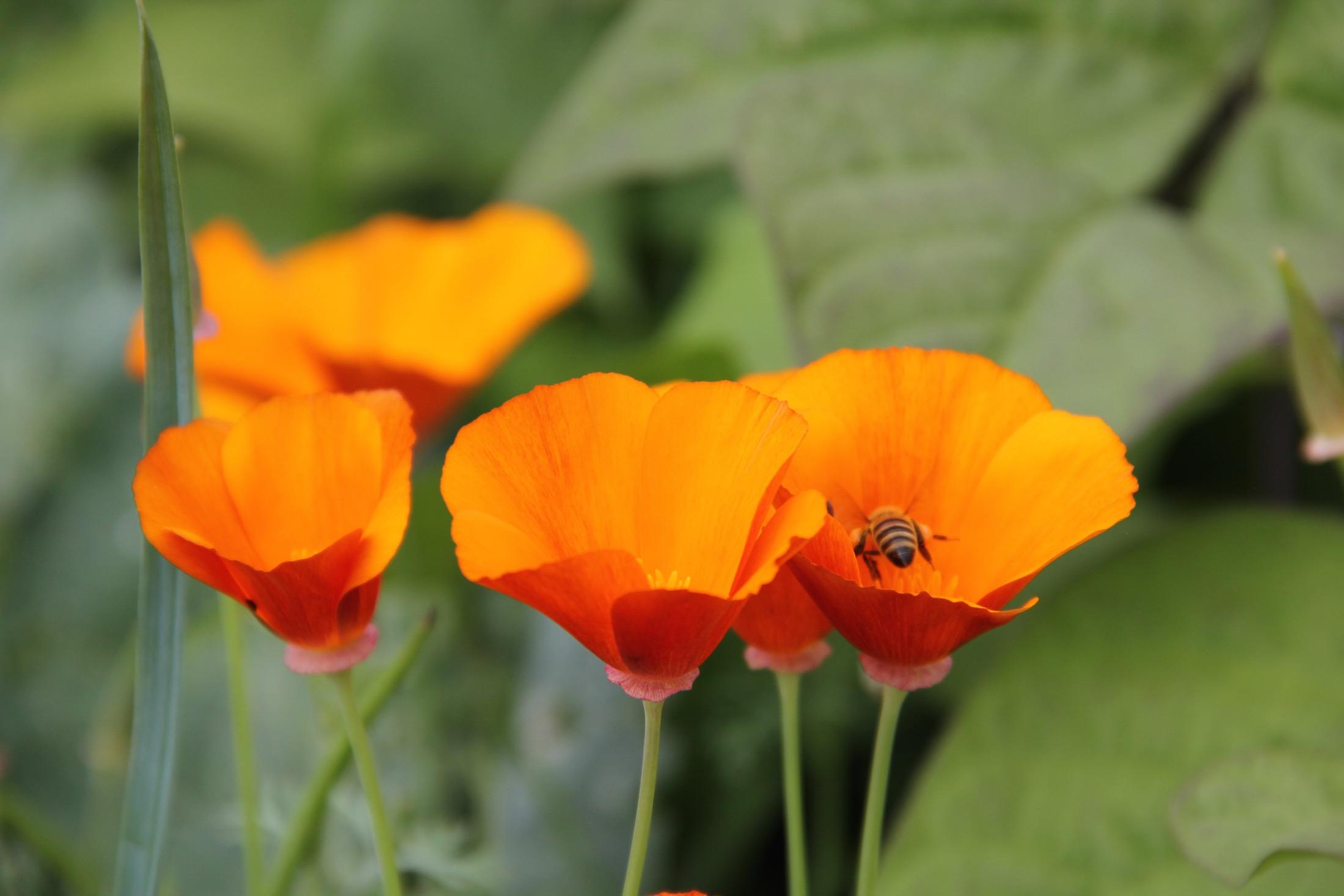 blühender Goldmohn mit Biene in einer Blüte