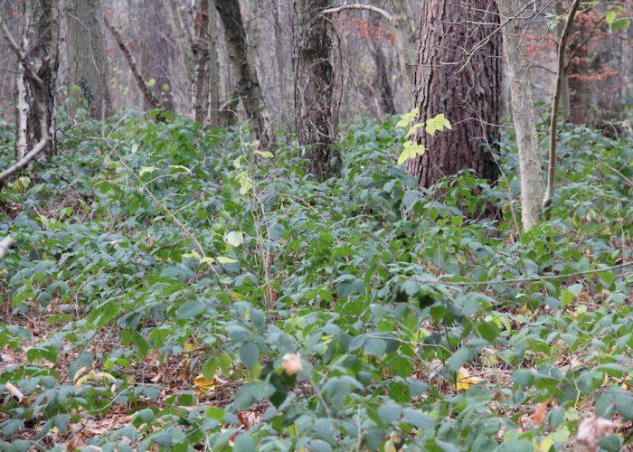 grünes Brombeergestrüpp im herbstlichen Wald