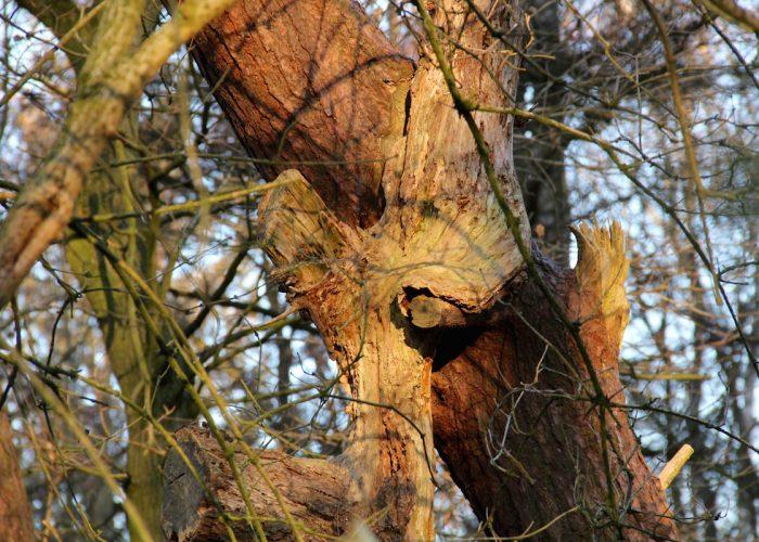 ineinander verwachsene Nadelbäume