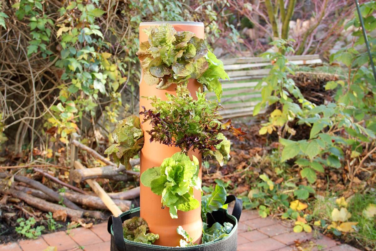Salat im Wasserfallrohr angebaut