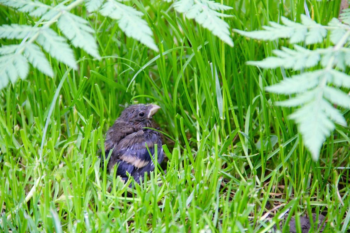 Jungvogel im Gras