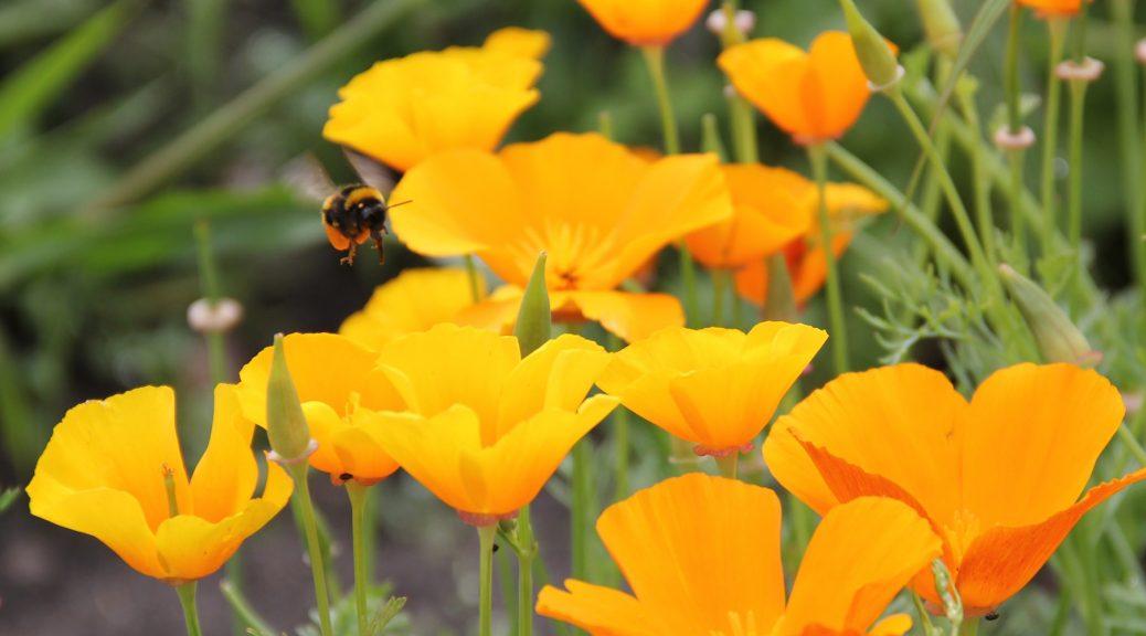 ein paar Goldmohnblüten und eine fliegende Hummel