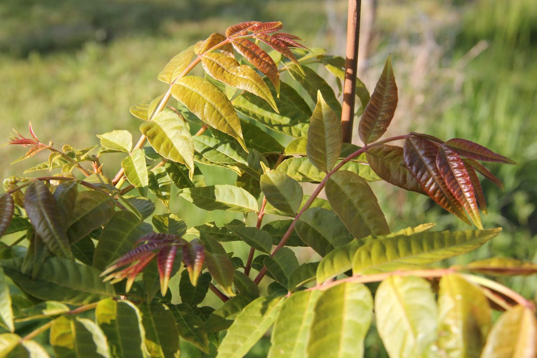 Junge Blätter vom Chinesischen Gemüsebaum