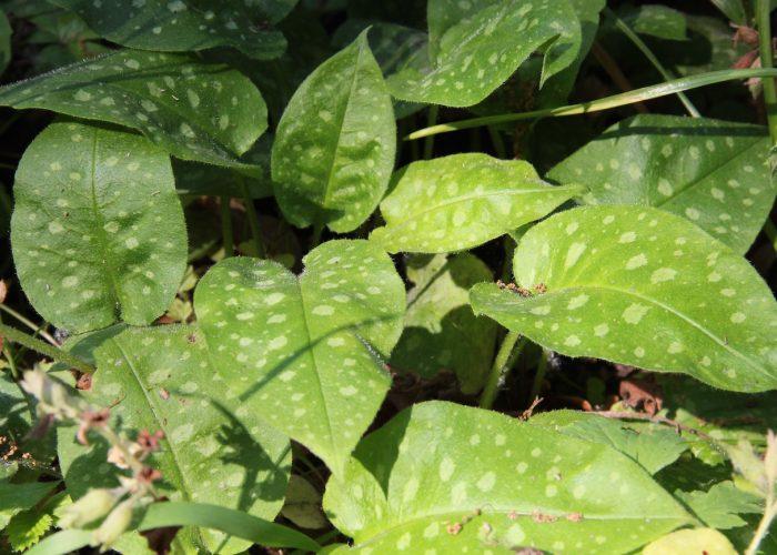 Blätter vom Lungenkraut